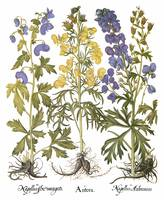 Besler Botanical Plate 047: Monkshood