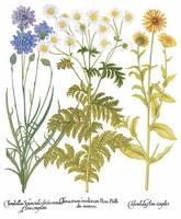Besler Botanical Plate 069: Mixture