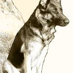 """German Shepherd, Two"" by mariancates"