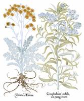 Besler Botanical Plate 072: Mixture