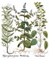 Besler Botanical Plate 083: Mixture