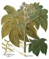 Besler Botanical Print 091: Ricinus major