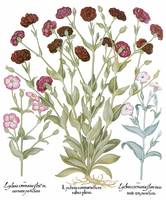 Besler Botanical Print 092: Lychnis Mixture