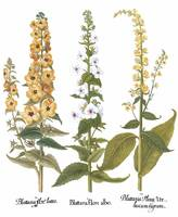 Besler Botanical Plate 097: Mullein Mixture