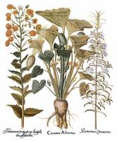 Besler Botanical Plate 103: Mixture