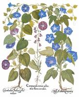 Besler Botanical Plate 107: Campanula minor sylue