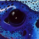 """Poison-Dart Frog"" by Kristin-Serafini"
