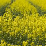 """oilseed rape"" by PhotographyByPixie"
