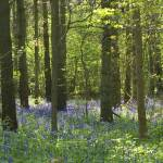 """bluebell forest"" by PhotographyByPixie"