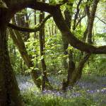 """bluebell woods"" by PhotographyByPixie"