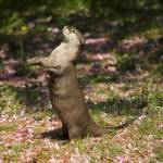 """otter standing"" by PhotographyByPixie"
