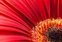 Macro Red Daisy