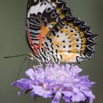 """orange and black butterfly on purple flower"" by PhotographyByPixie"