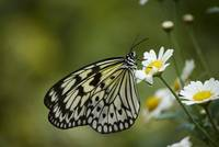 black and white butterfly on a daisy