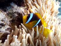 clown fish - nemo - Egypt