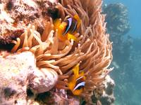 nemo clown fish Egypt