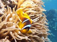 nemo clown fish in Egypt