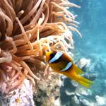 """sweet clown fish Egypt"" by PhotographyByPixie"