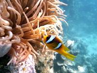 sweet clown fish Egypt