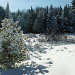 """Snow flowers on Pinetree"" by schlicht"