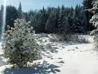 Snow flowers on Pinetree
