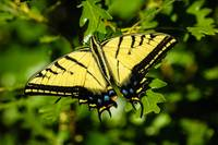 Two-tailed Swallowtail Butterfly on Oak