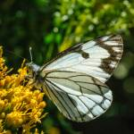 """Pine White Butterfly"" by PronghornPix"