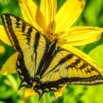 """Western Tiger Swallowtail"" by PronghornPix"