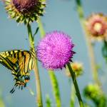 """Two-tailed Swallowtail Butterfly & Thistle"" by PronghornPix"