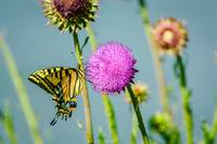 Two-tailed Swallowtail Butterfly & Thistle