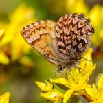 """""""Western Pine Elfin Butterfly"""" by PronghornPix"""