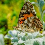 """Painted Lady Butterfly"" by PronghornPix"