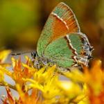 """Siva Juniper Hairstreak"" by PronghornPix"