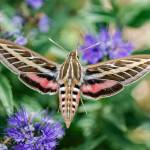 """White-lined Sphinx Moth"" by PronghornPix"