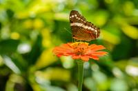 Banded Peacock Butterfly & Zinnia_InBf-0262