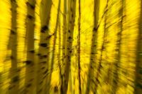 Moving Through an Aspen Grove