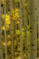 Autumn Aspen Grove