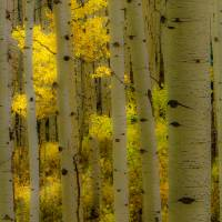 Autumn Aspen Grove Art Prints & Posters by Barbara Magnuson & Larry Kimball