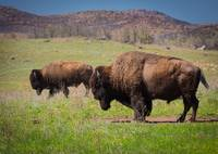Grazing Bison