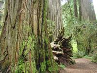 Redwood Trees Forest art print gifts Nature
