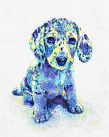 blue dappled dachshund