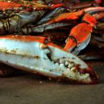 """""""Baltimore Big Steamed Crab Claw"""" by travel"""