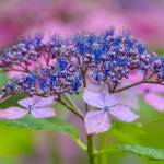 """Hydrangea"" by WildAboutNaturePhotography"