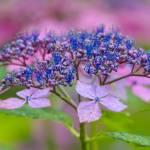 """Hydrangea"" by WildAboutNaturePhotography"