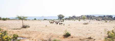 India-Arid Lanscape and Cattle