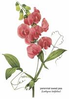 Perennial Sweet Pea Botanical Art