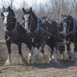 """Draft Horses"" by Dullinger"