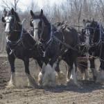 """""""Draft Horses"""" by Dullinger"""