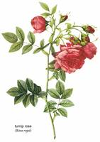 Turnip Rose (Rosa Rapa) Botanical Art