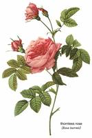 Thornless Rose (Rosa Inermis) Botanical Art